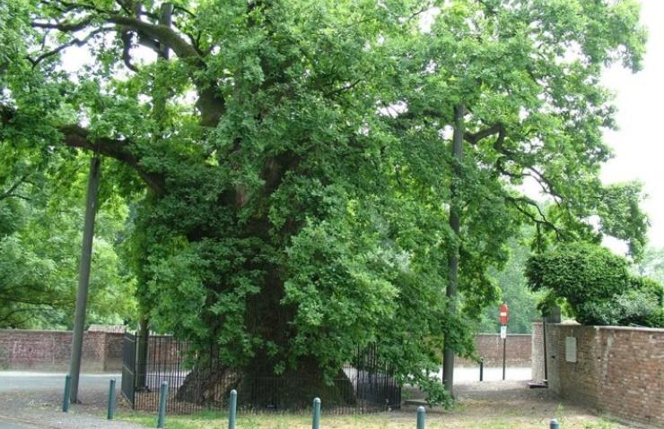 Insolite : 1039ème anniversaire d'un chêne