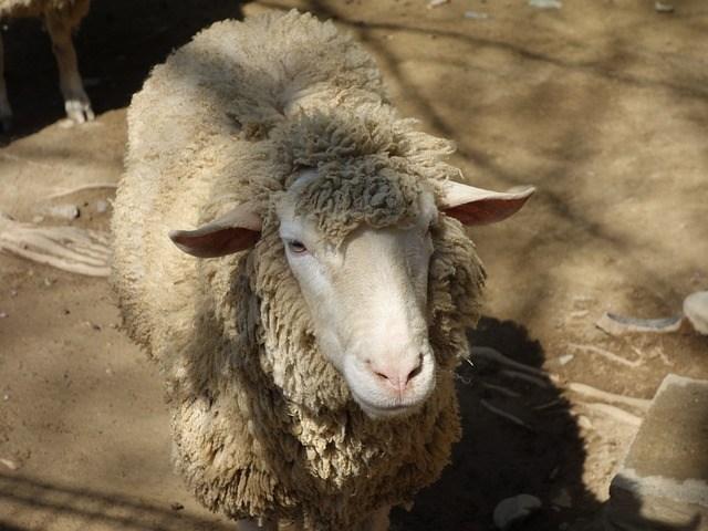 Insolite : Un logiciel pour  reconnaître les  moutons malheureux