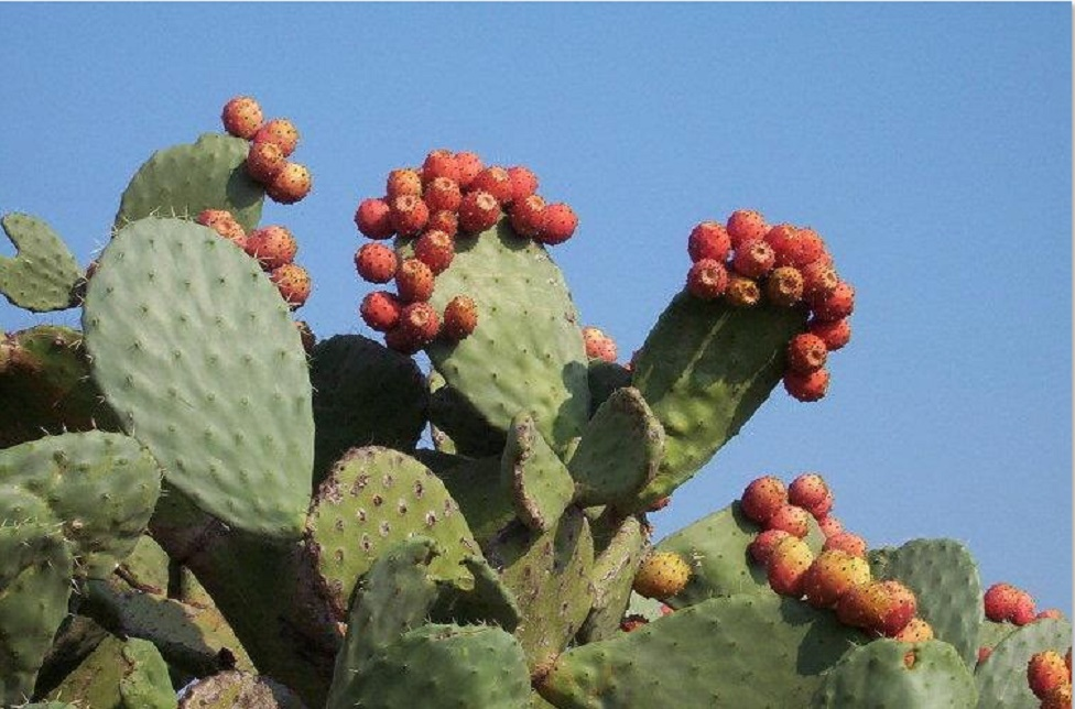 La cochenille du cactus envahit les plantations
