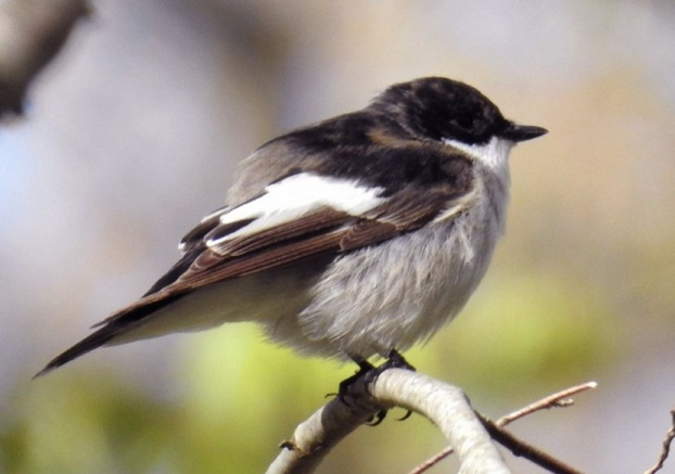 En matière de chant d'oiseau, les gènes font la différence