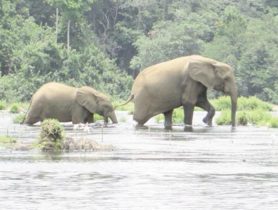 Au Gabon, protéger les éléphants mais aussi les villageois