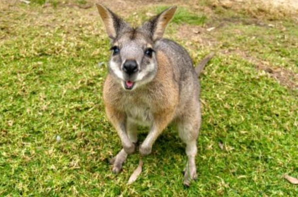 Insolite : Wallaby errant