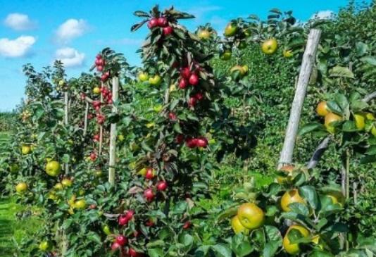 Plantation de 10.000 ha additionnels d'arbres fruitiers dans la province d'Al-Hoceima
