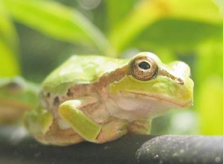 Des milliers d'espèces de grenouilles grâce aux dinosaures