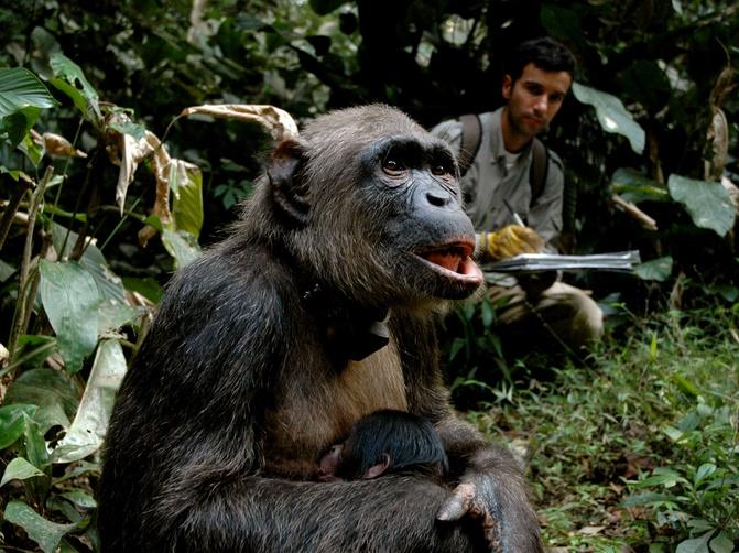 Des chimpanzés décimés par l'anthrax