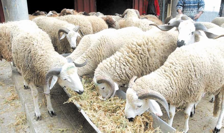 L'offre en cheptel ovin et caprin dépasse largement la demande pour l'Aïd El Adha