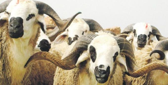 Offre abondante du cheptel pour le sacrifice de l'Aïd Al Adha dans les provinces du Sud