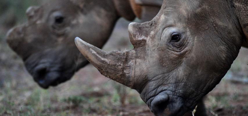 Cornes de rhinocéros : une vente aux enchères fait polémique