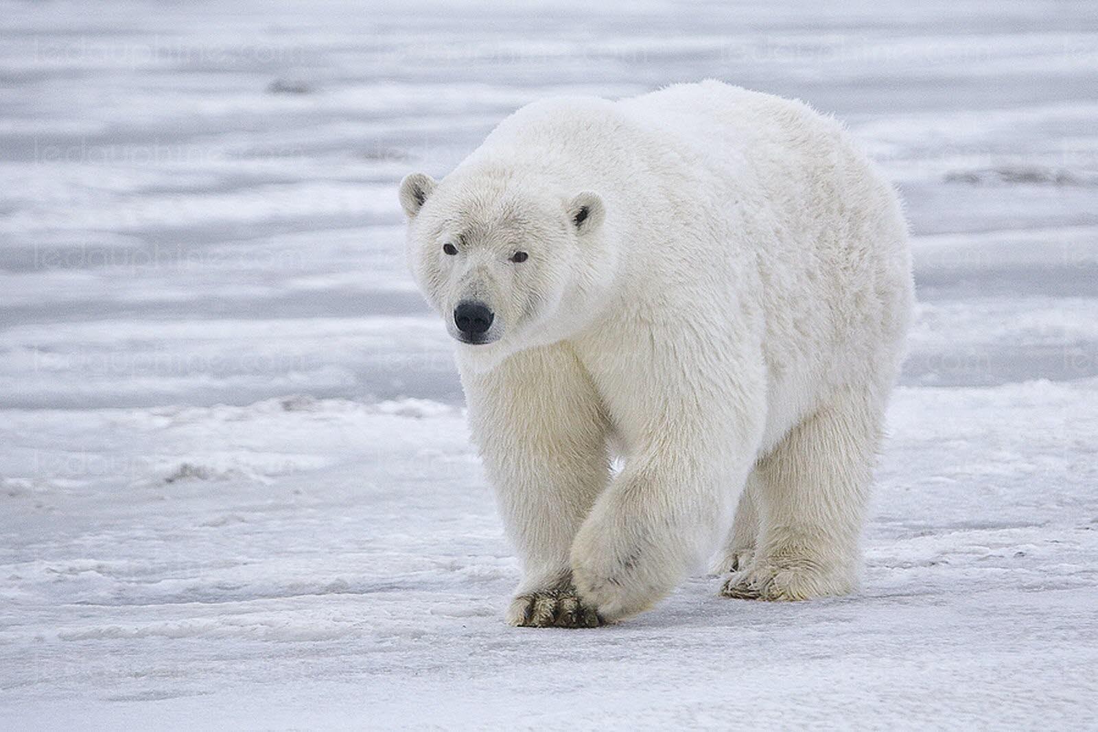 Il ne faut pas réveiller l'ours qui dort en Arctique