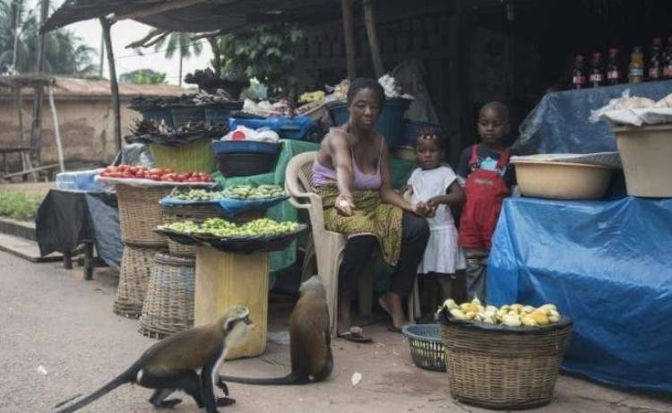 Au Ghana, le business des singes fait le bonheur des villageois