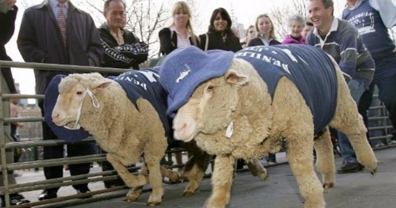 Insolite : Les moutons aiment-ils courir ou non?