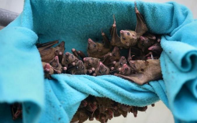 Comment les chauves-souris apprennent à crier