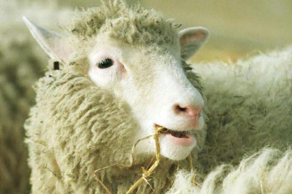 L'arthrose de Dolly sans rapport avec son clonage