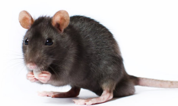 Avec le changement climatique, la souris mute et remonte au Nord