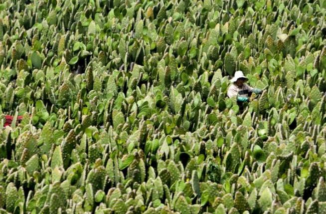 Insolite : Le cactus, un aliment d'avenir