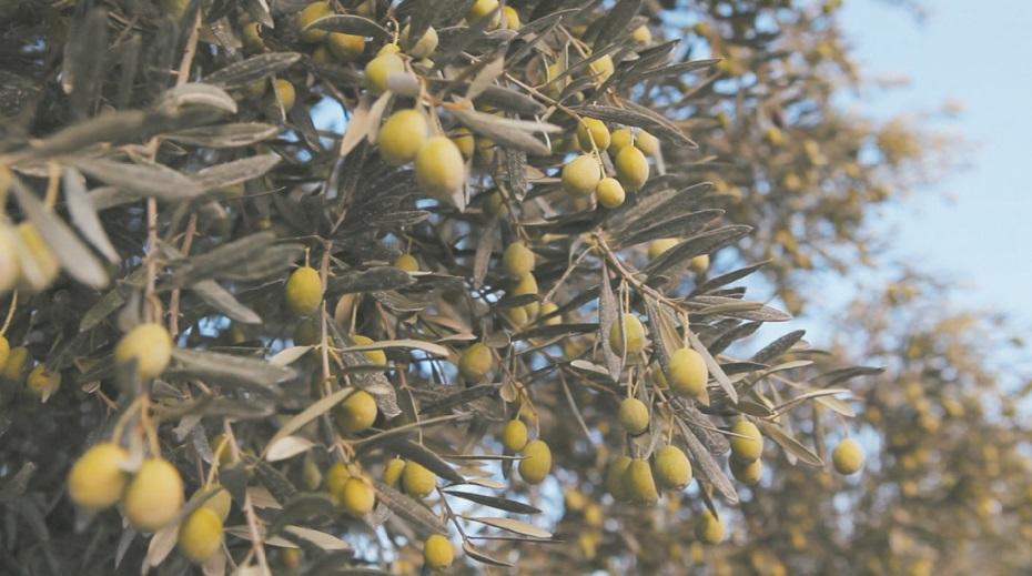 Les oliviers représentent 55% de la superficie  globale des arbres fruitiers de Rabat-Salé-Kénitra