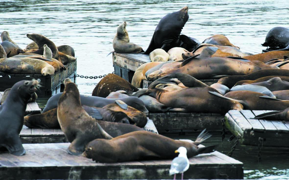 Insolite : Des nageurs attaqués  par des lions de mer