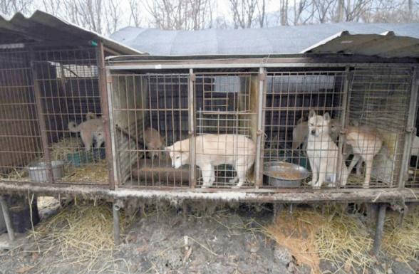 Eleveur de viande canine en Corée du Sud, un métier de chien