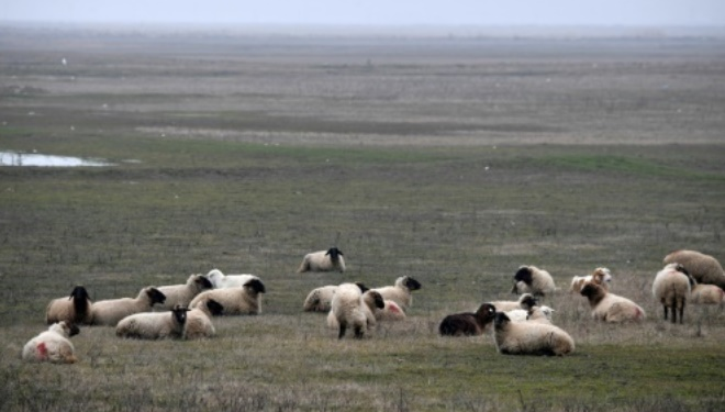 Ces moutons roumains qui rendent chèvres les militaires américains