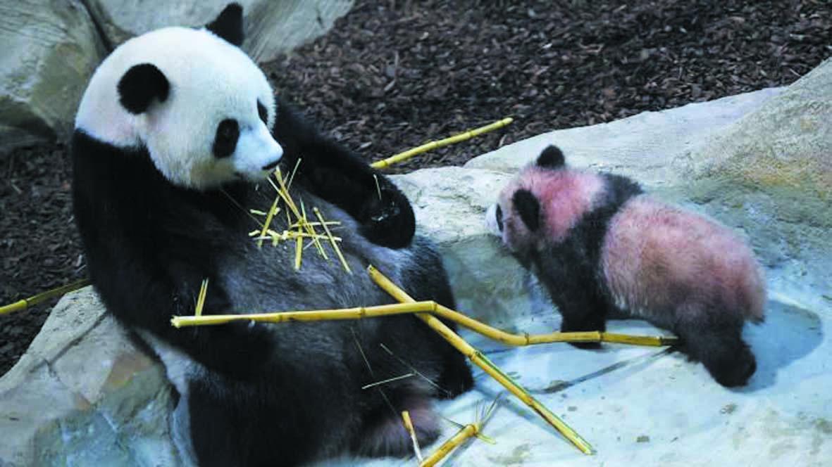 """Plus de visiteurs dans les zoos grâce à """"un effet panda"""""""
