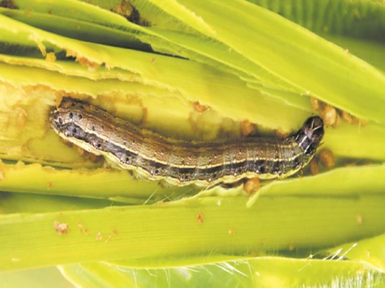 Des chenilles légionnaires menacent les champs de maïs