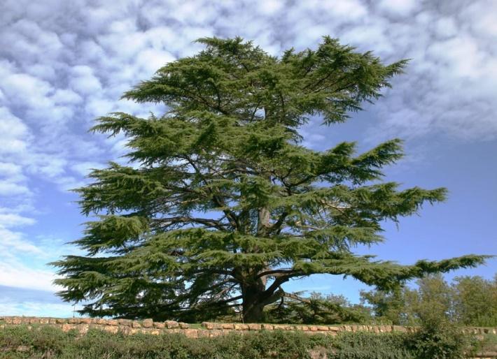 Le cèdre de l'Atlas, remède miracle pour forêts improductives et dégradées