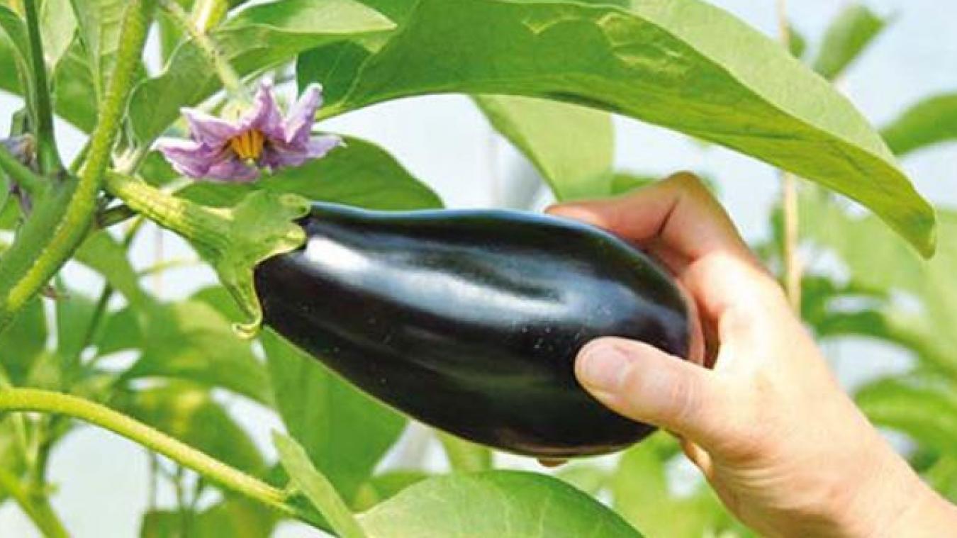 Insolite :  Acquitté d'une tentative de vol d'aubergine