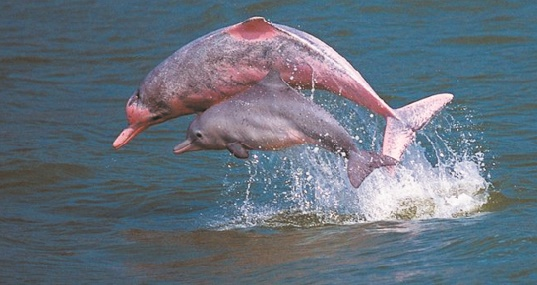 Disparition rapide des dauphins d'eau douce d'Amazonie