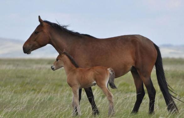 Le cheval, l'animal qui a changé le profil ethnique de l'Eurasie