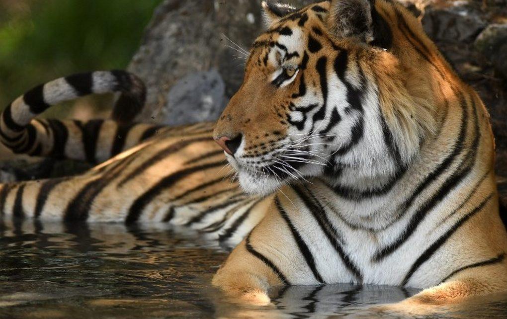 Insolite :  Arrêté avec son tigre