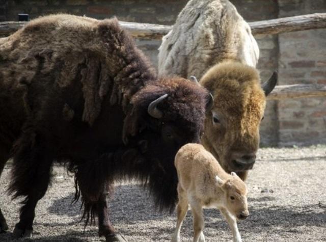 Insolite : Naissance d'une bisonne blanche