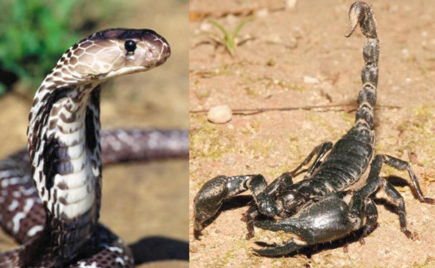 Piqûres de scorpion et morsures de serpent à tire-larigot lors de la saison estivale