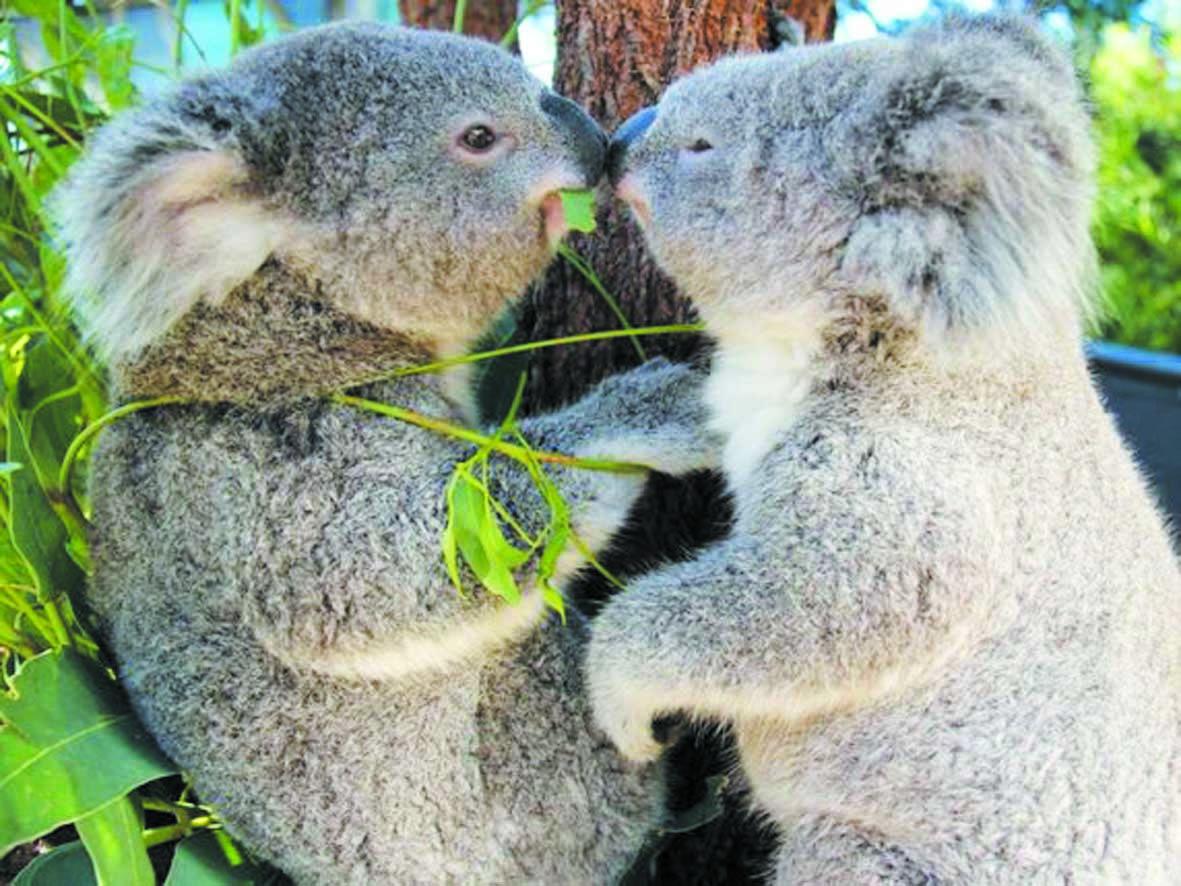 Le génome du koala séquencé, un atout pour sa protection