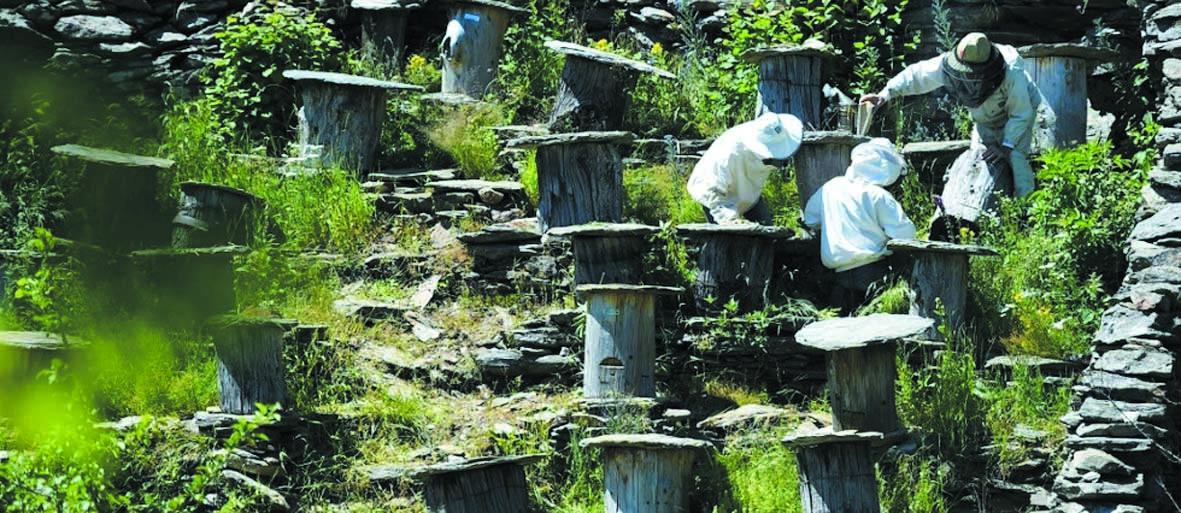En France, des pratiques ancestrales pour préserver l'abeille noire