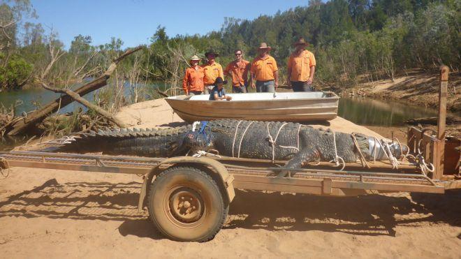 Insolite : Un énorme crocodile capturé après huit ans de traque