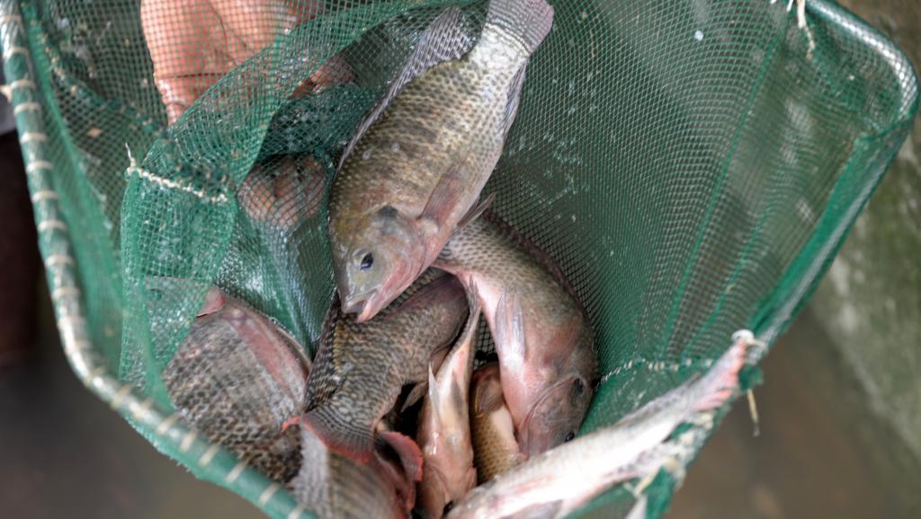 La production mondiale de poisson continuera d'augmenter au cours de la prochaine décennie