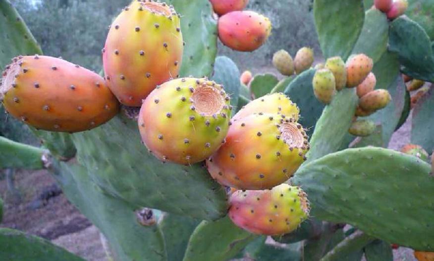 Le cactus fait face à une redoutable menace
