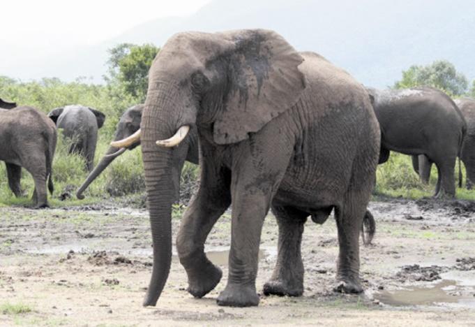 Un éléphant capturé vit 5 ans de moins qu'un animal né en captivité