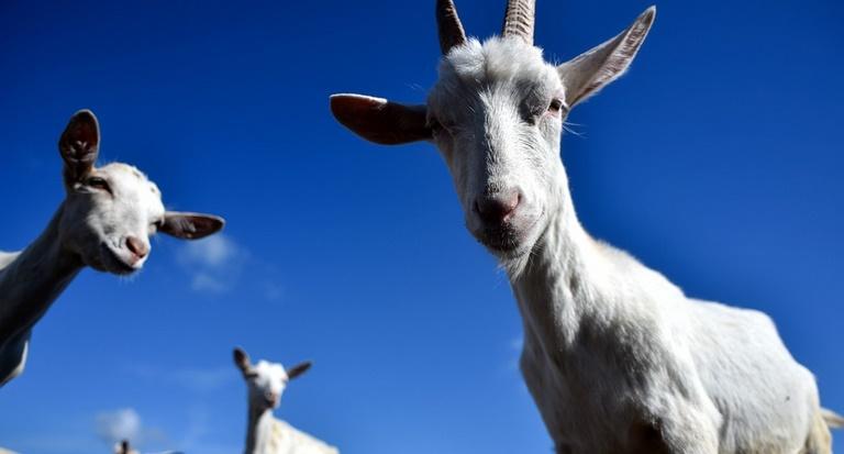 Insolite : Les chèvres sont capables de reconnaître les expressions humaines