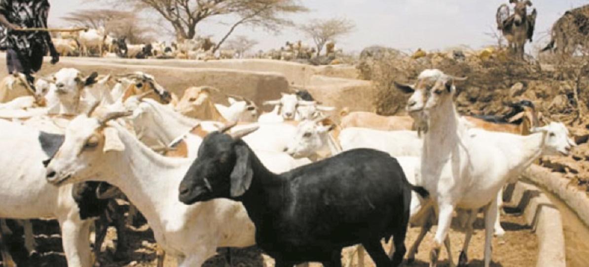 La communauté mondiale se mobilise pour éradiquer la peste des petits ruminants