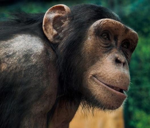 Calculs rénaux et montagnes russes, singes imitant l'homme au menu des anti-Nobel 2018