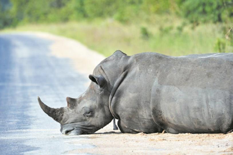 Liberté ou interdit : Comment sauver les rhinocéros ?