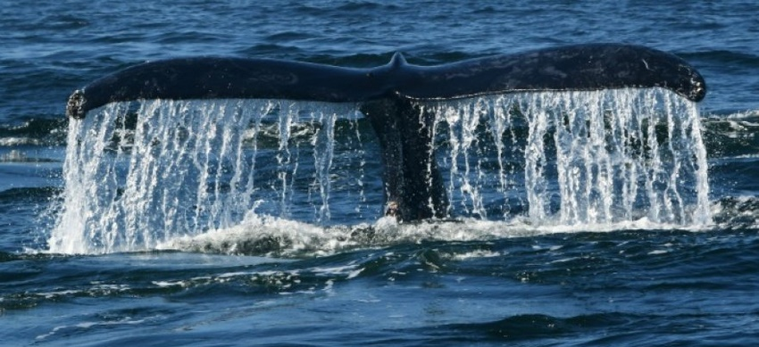 Quand le navire passe, les baleines se taisent