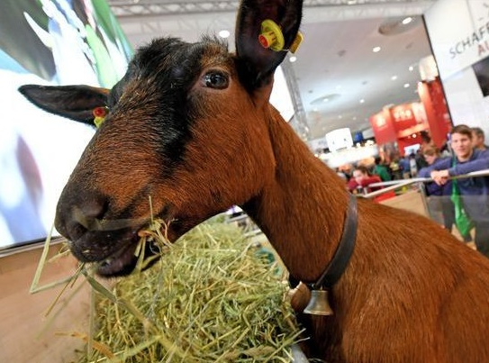 Insolite  : Il vole une chèvre et prend le métro avec