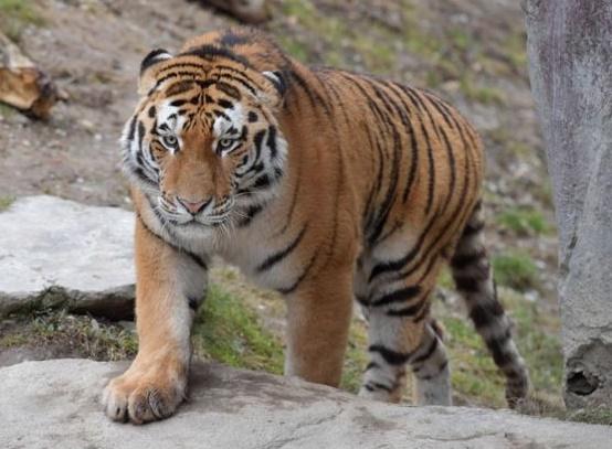 Insolite : Un tigre de Sumatra libéré du sous-sol d'un magasin en Indonésie