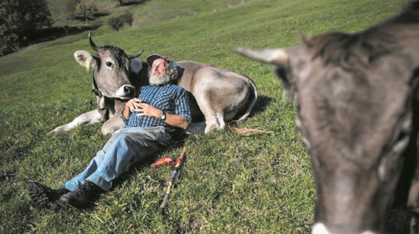 Référendum sur les vaches à cornes en Suisse