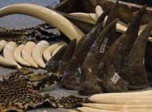 Insolite : Cornes de rhinocéros