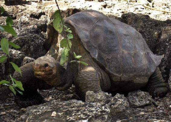 Le secret de la longévité des tortues géantes des Galapagos