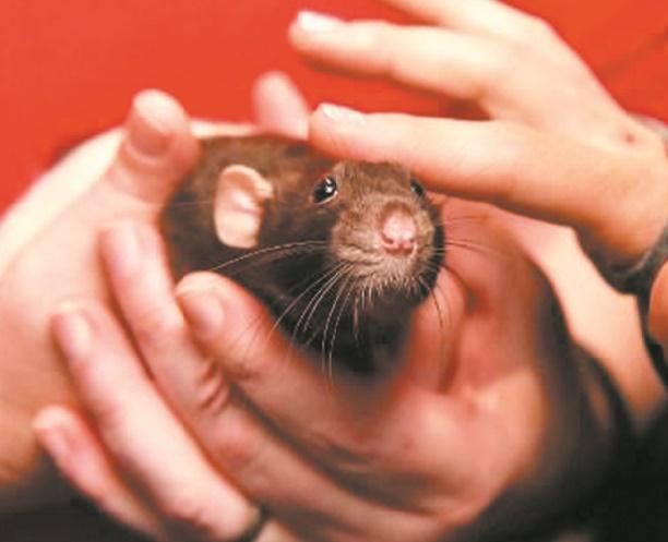 Insolite : Des rats au Parlement