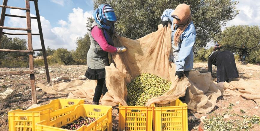 Récolte record des olives